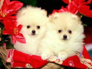 Postal: Cachorros de Pomeranian en una cesta