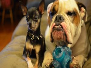 Chihuahua y bulldog, dos buenos amigos