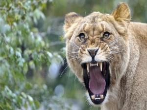 Una leona enojada