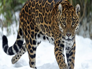 Postal: Jaguar caminando en la nieve