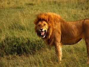 León con la boca abierta