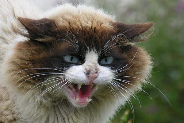 Gato muy enfadado