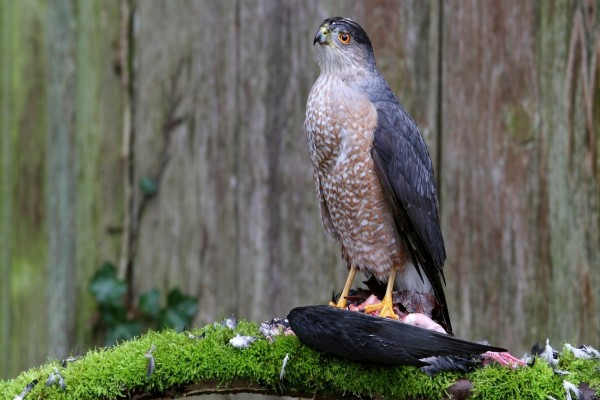 Un halcón mirando atentamente