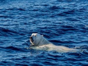 Oso polar nadando en el mar