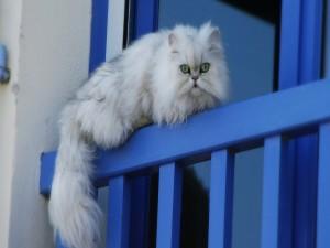 Gato blanco en el balcón
