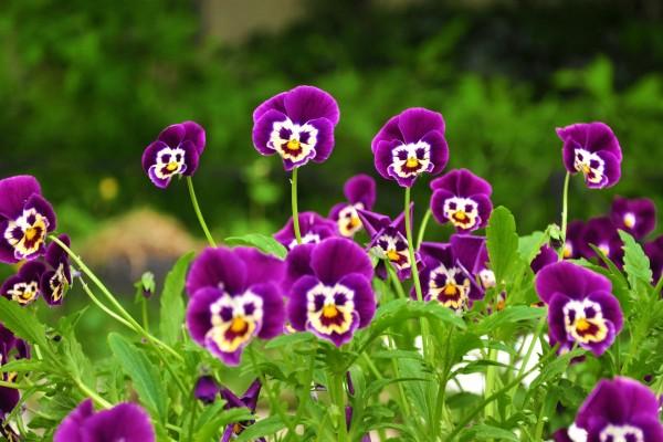 Largas flores moradas