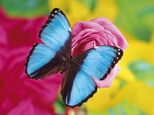 Mariposa azul en una rosa