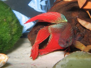 Pez Betta de color rojo