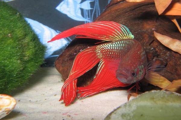 Pez Betta de color rojo