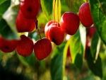 Manzanas rojas en su árbol