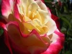 Rosa de dos colores