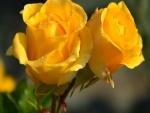 Dos rosas amarillas con rocío