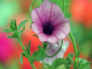 Postal: Petunia color lila