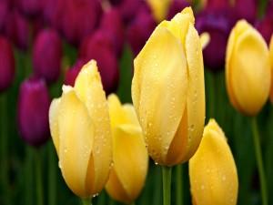 Postal: Tulipanes amarillos con gotas de rocío
