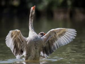 Ganso moviendo sus alas en el agua