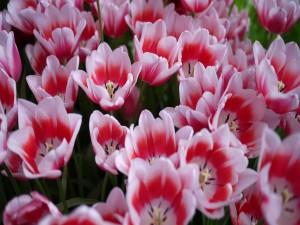Postal: Tulipanes de dos colores