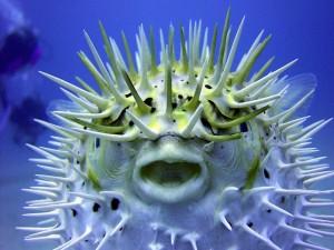 La cara de un pez globo