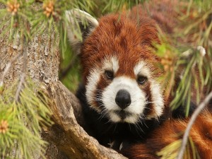 Postal: Panda rojo entre las ramas de un árbol