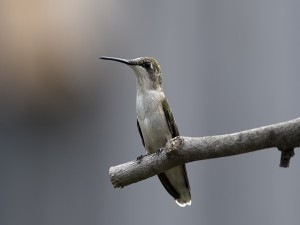 Colibrí sobre una rama