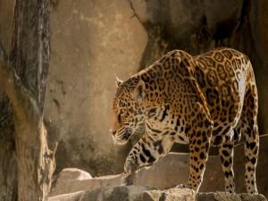 Postal: Jaguar caminando entre las rocas