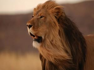 Postal: Un precioso león