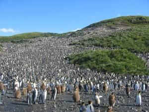 Postal: Colonia de pingüinos en las islas Georgias del Sur