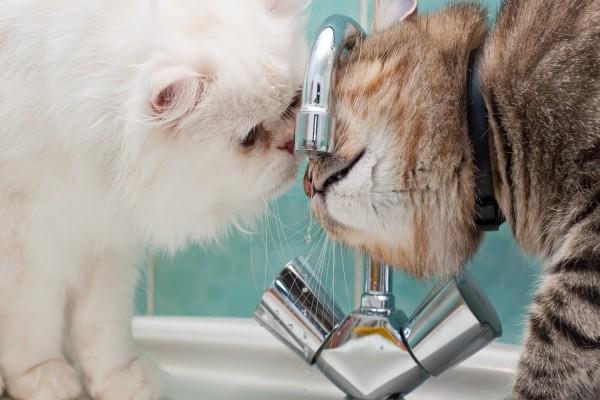 Dos gatitos tomando agua del grifo
