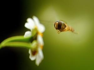 Abeja volando hacia una flor