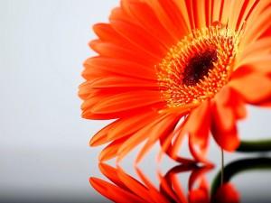 Reflejo de gerbera naranja