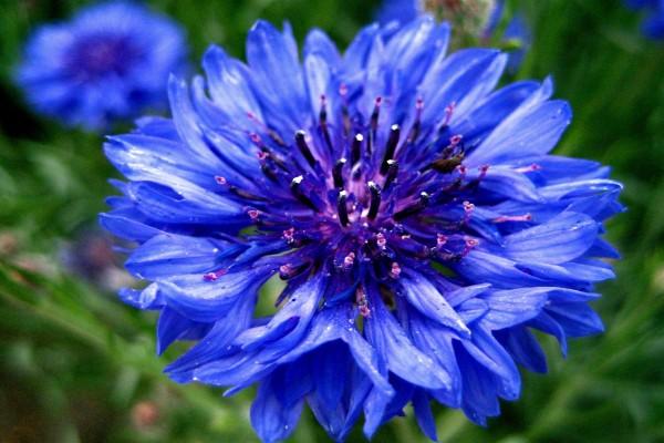 Bonita flor azul vista de cerca