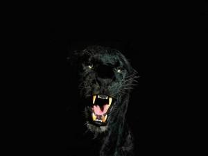 El rugido de una pantera negra