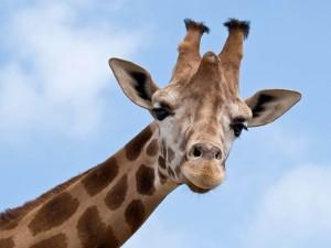 Postal: Una simpática jirafa