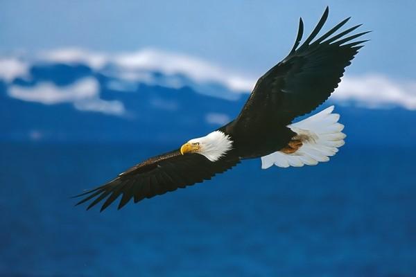 Águila volando