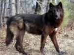 Lobo caminando atento por el bosque