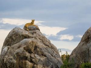 Postal: Leona descansando en una roca