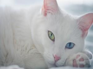 Gatito blanco con los ojos de distinto color