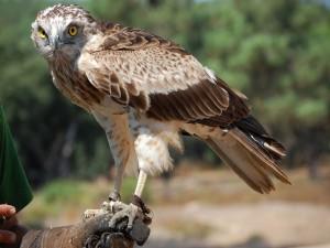 Postal: Águila culebrera europea