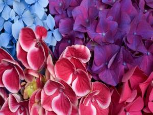 Postal: Hortensias de colores