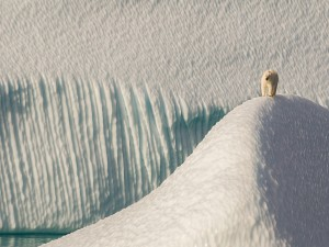 Postal: Oso polar caminando sobre placas de hielo