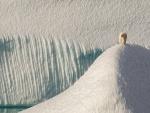 Oso polar caminando sobre placas de hielo