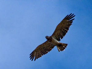 Postal: Águila culebrera europea en vuelo