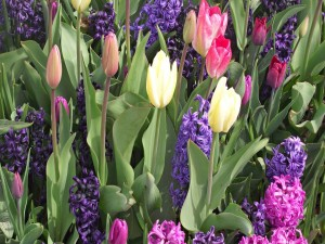 Postal: Tulipanes y jacintos