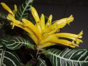 Planta cebra (Aphelandra squarrosa)
