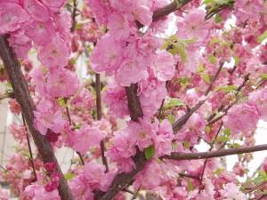 Postal: Flores del melocotonero
