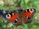 Mariposa pavo real (Inachis io)