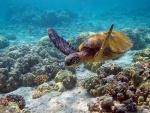 Un ejemplar de tortuga verde marina (Chelonia mydas)