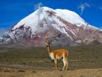 Vicuña en las faldas del volcán Chimborazo (Ecuador)