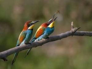 Dos abejarucos