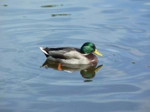 Un pato en el agua
