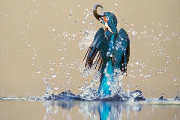 Pájaro saliendo del agua con un pez en el pico